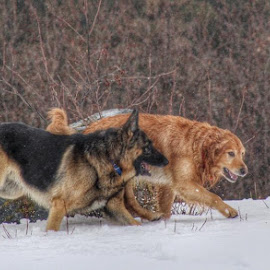 A Romp In The Snow by Patricia Phillips - Animals - Dogs Running ( den retrievers, dogs running romping german shepherds go )