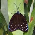 Midama Moth
