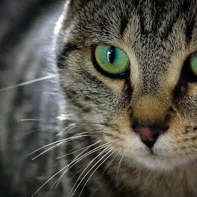 by Boris Romac - Animals - Cats Portraits ( pentax k5, lowlight, da 55-300, croatia, coguar, sinj, #GARYFONGPETS, #SHOWUSYOURPETS )