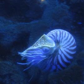 by Kim Pauly - Novices Only Wildlife ( water, crustacean, sea life, ocean life, sea life., nautilas )