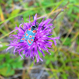 Blue-red beatle on a purple flower by Svetlana Saenkova - Animals Insects & Spiders ( green background, beetle, purple flower, blue,  )