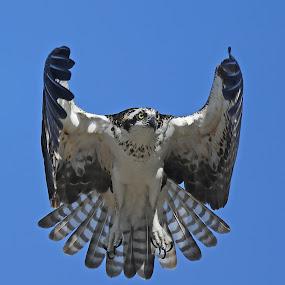 Hovering Osprey! by Anthony Goldman - Animals Birds ( wingd, bird, flight, wild, predator, nature, tampa, action, wildlife, osprey,  )