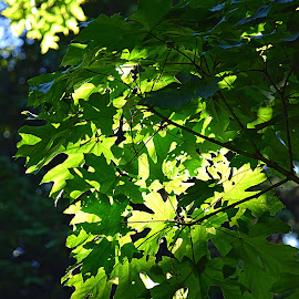 Layered Leaves by Rob Bradshaw - Nature Up Close Trees & Bushes ( green leaves, maple tree, green, leaves, maple leaves, tree branch, sunlit leaves, shadows, trees )