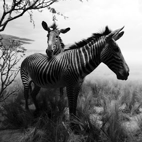 Zebra Love by Renee East - Animals Other Mammals ( zebras black white )