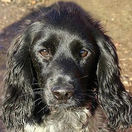 Sollie by Chrissie Barrow - Animals - Dogs Portraits ( roan, cocker spaniel, pet, white, fur, ears, puppy, dog, nose, black, portrait, eyes )