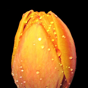 Orange Tulip with Water Droplets by June Morris - Nature Up Close Flowers - 2011-2013 ( nature, flowers, landscape, droplets, plants water,  )