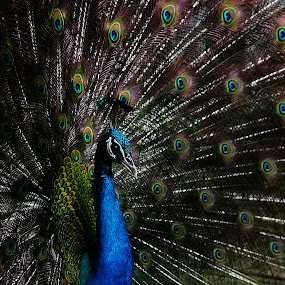 Peacock by Atsot Garingalao - Animals Birds