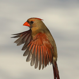 In Flight Cardinal by Diane Irwin - Animals Birds ( wing dispaly, bird, colors, female cardinal, wing detail )