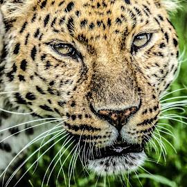 Artur by Garry Chisholm - Animals Lions, Tigers & Big Cats ( big cat, garry chisholm, predator, carnivore, nature, wildlife, leopard )