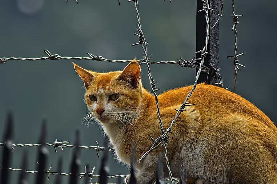 Fearless by Chiradeep Mukhopadhyay - Animals - Cats Portraits
