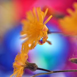 yellow flower with a waterdrop by Paul Wante - Abstract Macro ( abstract, macro, waterdrop, yellow, photography )