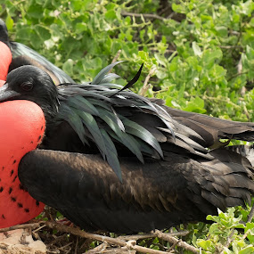 Double the fune by Alan Cline - Animals Birds ( animals, red, ecuador, males, frigate birds, galapagos )