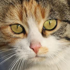 by РАЙНА СИНДЖИРЛИЕВА - Animals - Cats Portraits