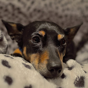 SOPHIE!!!! by Bradley Bath - Animals - Dogs Portraits