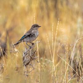 Western Bluebird by Chad Roberts - Animals Birds ( bird, idaho, wild, bluebird, blue, western, small bird )