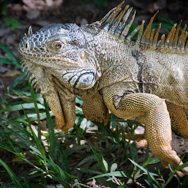 Iguana  by Jim Signorelli - Animals Amphibians ( lizard, iguana )