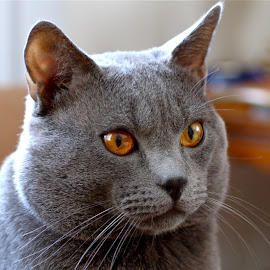 Hugo de Ventadour - Chartreux cat by Serge Ostrogradsky - Animals - Cats Portraits