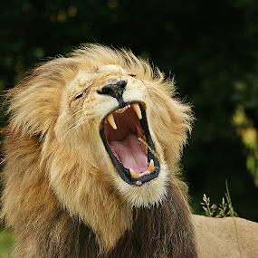 Yawn part 4 by Charmane Baleiza - Animals Other Mammals ( charmane baleiza, lion, big cats, panthera leo, wildlife, male lion )