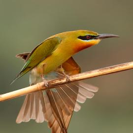 Wings Show by Tahir Abbas - Animals Birds ( bird, wild bird, nature, blue tailed, wings, bee eater, bird photography, birding,  )