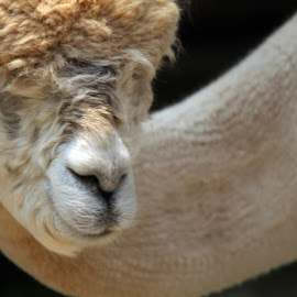 Alpaca by Kathryn Fenton - Animals Other ( farm, barn, alpaca, close up, animal )