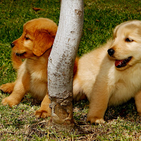 Golden Retrievers by Cristobal Garciaferro Rubio - Animals - Dogs Puppies ( retriever, golden, pwcpuppies, golden retriever )