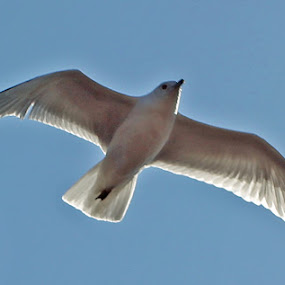 Seagull in Flight by Nancy Sadowski - Animals Birds ( bird, flight, sky, seagull, white )