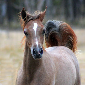 Arabian Elegance by Glenys Lilley - Animals Horses ( arabian horse,  )