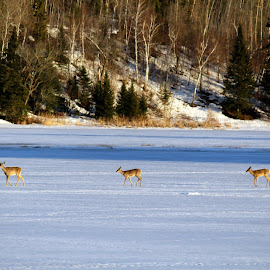 Deer Crossing Walker Bay, Minnesota USA by Jo Brockberg - Animals Other Mammals ( canon, mammals, cabin, crossing, walking, leech, lake, forest, tracks, north, minnesota, winter, cold, bay, ice, snow, three, trees, walker, day, deer )