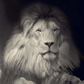 Majestic Man by Sue Connor - Digital Art Animals ( lion, lion cat, male lion )