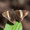 Sonoran banded skipper