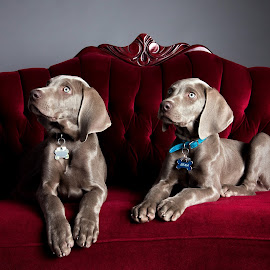 Weimaraner Puppies - Siblings by Jen St. Louis - Animals - Dogs Puppies ( studio, dogs, weimaraner puppies, portrait, puppies, weimaraner, dog, weimaraners,  )