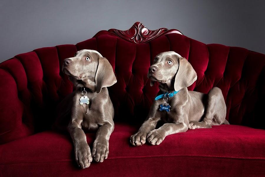 Weimaraner Puppies - Siblings by Jen St. Louis - Animals - Dogs Puppies ( studio, dogs, weimaraner puppies, portrait, puppies, weimaraner, dog, weimaraners,  )