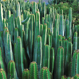 CACTUS FOREST by Wojtylak Maria - Nature Up Close Other plants ( high, green, cactus, garden, many,  )
