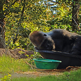Western Loland Gorilla in Tub by Kristine Nicholas - Novices Only Wildlife ( zoo, ape, green, gorilla, sleeping, primate, africa, monkey )