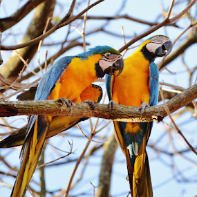 Wild pair of macaws by Marcello Toldi - Animals Birds