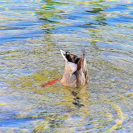 Ducking Duck by Will McNamee - Digital Art Animals ( gigart@aol.com, aundiram@msn.com, danielmcnamee@comcast.net, mcnamee2169@yahoo.com, ronmead179@comcast.net )