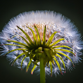 by Eduard Andrica - Nature Up Close Other plants ( nature, dandelion, green, white, summer, close up, spring, flower,  )