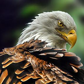 Eagle Eye by John Larson - Animals Birds ( birds of prey, symbols of america, watching, pwctaggedbirds, bald eagle, bronx zoo new york, raptors,  )