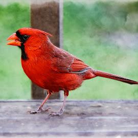 Mr. Cardinal by Melissa Davis - Animals Birds ( bird, red bird, cardinal, male cardinal, backyard )