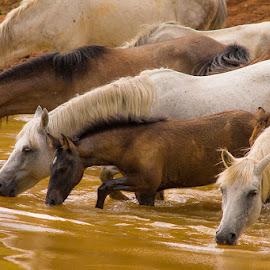 thirst by Costin Mugurel - Animals Horses ( water, wild, mountains, horse, animal )