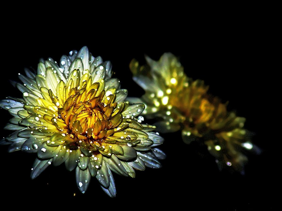 The glittering flower... by DIPANKAR HALDER - Nature Up Close Flowers - 2011-2013