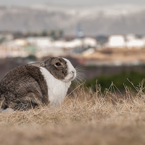 When city meets the wild by Stefán Margrétarson - Animals Other Mammals ( reykjavík, rabbit, elliðaárdalur, iceland, europe, bunny, wildlife, animal )