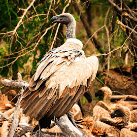 Vultures by Diane Rogers Jones - Novices Only Wildlife