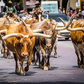 Longhorns out for a stroll by Ben, Instagram: @bgrantphotos - Novices Only Street & Candid ( longhorn, cowboys, walkies, street scene, longhorns, mosey )