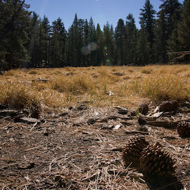 Meadow with Pinecones by Brianne Nguyen - Landscapes Prairies, Meadows & Fields ( pinecone, pines, grass, meadow, trees )