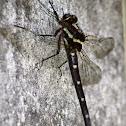 Bush Giant Dragonfly