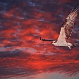 { Osprey in flight ~ Fort DeSoto Florida }  by Jeffrey Lee - Digital Art Animals ( { osprey in flight ~ fort desoto florida },  )