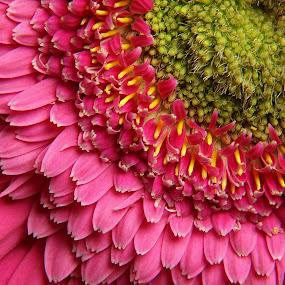Daisy by John  Pemberton - Flowers Single Flower ( pink flower, macro, macro flower, texture, pink, flower,  )
