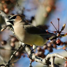 Ceder Waxwing by Karin Pelton - Animals Birds