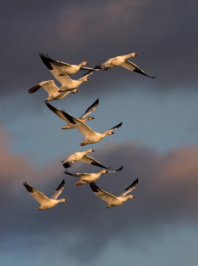 Snow Geese Formation by Rachel Bilodeau - Animals Birds ( snow geese formation )